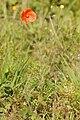 Papaver.rhoeas2.-.lindsey.jpg