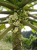 Flores de mamoeiro macho.