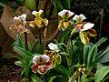 Paphiopedilum cultivars 1001 Orchids.jpg