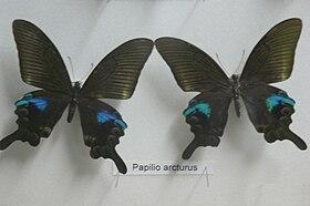 Papilio arcturus.jpg