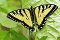 Papilio canadensis UL 03.jpg