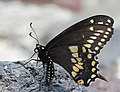 Papilio polyxenes stabilis.jpg