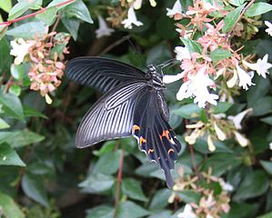 https://upload.wikimedia.org/wikipedia/commons/thumb/f/fa/Papilio_protenor_02.jpg/299px-Papilio_protenor_02.jpg