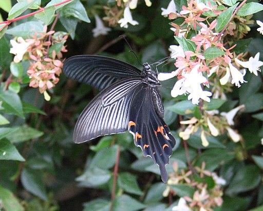 Papilio protenor 02