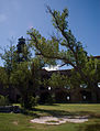 Parade ground trees (6022655636).jpg