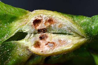 Parasitoïd of Dryocosmus kuriphilus (31765898760).jpg
