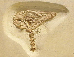 Parrot - Fossil skull of a presumed parrot relative from the Eocene Green River Formation in Wyoming