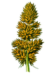 Part of Carex vulpina.PNG