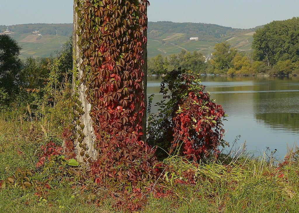 Pavinič päťlistý (lat. Parthenocissus quinquefolia)