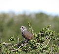 Passerella megarhyncha, Los Osos, San Luis Obispo 3.jpg