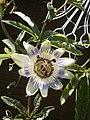 Passiflora caerulea RHu 002.JPG