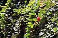 Passiflora coccinea 12zz.jpg