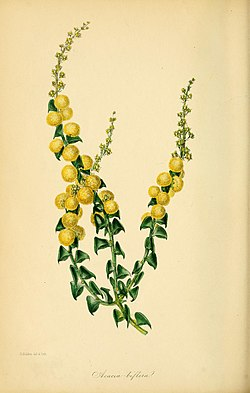 Paxton's Magazine of Botany and Register of Flowering Plants (1842) (14780603364).jpg