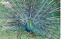 Peacock at Rode Bird Gardens - geograph.org.uk - 83993.jpg