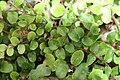 Pellaea rotundifolia 2zz.jpg