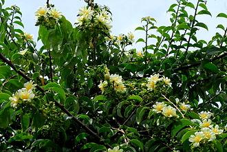 Taxonomy of the Cactaceae - Pereskia aculeata