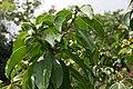 Pereskia grandifolia 37zz.jpg