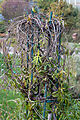 Periploca sepium - Feuillage automnal.jpg