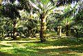 Perkebunan kelapa sawit milik rakyat (71).JPG