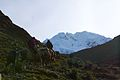 Peru - Salkantay Trek 042 - taking horses to the pass (7339793260).jpg