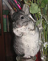 Pet chinchilla.jpg