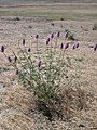 Petalostemon ornatum-5-24-04.jpg