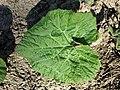 Petasites hybridus sl15.jpg