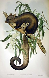 Yellow-bellied glider Species of marsupial