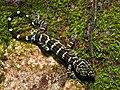 Peter's Bow-fingered Gecko (Cyrtodactylus consobrinus) (6747945609).jpg