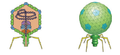Phage T7.png