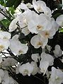 Phalaenopsis cultivars - kew 4.jpg