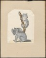 Phascolarctos cinereus - 1700-1880 - Print - Iconographia Zoologica - Special Collections University of Amsterdam - UBA01 IZ20300240.tif