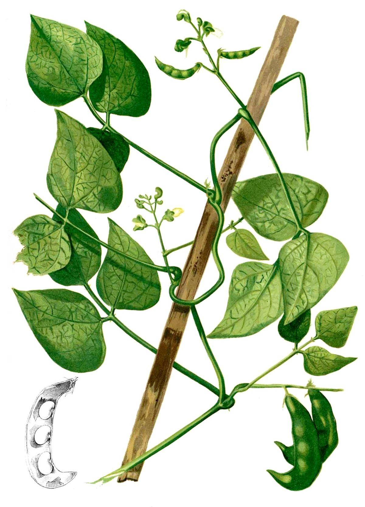 Phaseolus lunatus  Wikipedia la enciclopedia libre
