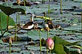 Pheasant-tailed Jacana (Hydrophasianus chirurgus)- Breeding with chicks in an Indian Lotus (Nelumbo nucifera) Pond in Hyderabad, AP W IMG 7627.jpg