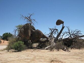 Kgalagadi Transfrontier Park - Image: Philetairus socius nest in South Africa 8