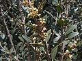 Phillyrea latifolia g2.jpg