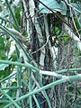 Philodendron cannifolium 02 by Line1.JPG