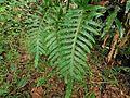 Phlebodium aureum( Polypodiaceae ).jpg