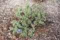 Phlomis lanata - McConnell Arboretum & Botanical Gardens - DSC02943.JPG