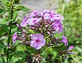 Phlox paniculata 'Lichtspel' in Jardin des 5 sens (1).jpg