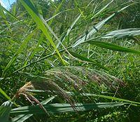 Phragmites australis1.jpg