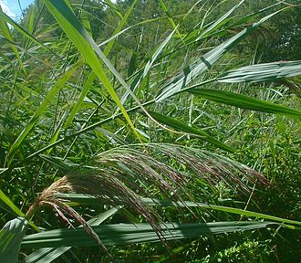 Reed bed - A reed bed in summer