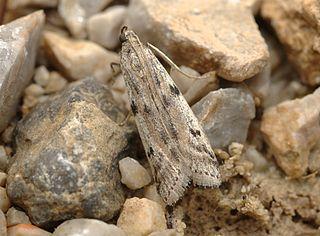 <i>Phycitodes binaevella</i> Species of moth