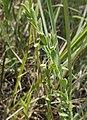 Phyllanthus polygonoides.jpg