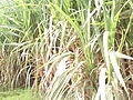 Picturesque snap of sugarcane crop with lovely colour combination.jpg