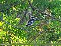 Pied Kingfisher (Ceryle rudis) (15893002882).jpg