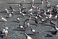 Pigeons place Catalogne Barcelone 2.jpg
