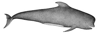 Short-finned pilot whale - Image: Pilot Whale