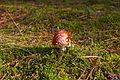 Pilz im Forst Rundshorn IMG Forst Rundshorn IMG 1757.jpg