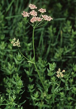 Pimpinella major ssp rubra eF.jpg
